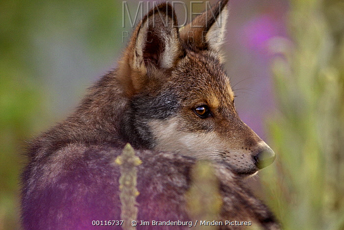 Timber Wolf (Canis lupus) pup looking back over its shoulder, North America  -  Jim Brandenburg