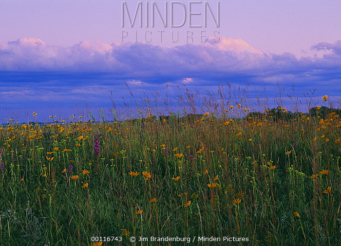 Blooming prairie flowers under gathering clouds, Blue Mounds State Park, Minnesota  -  Jim Brandenburg