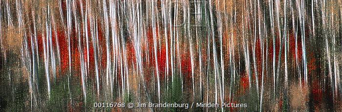 Birch (Betula sp) trees in fall, Minnesota  -  Jim Brandenburg