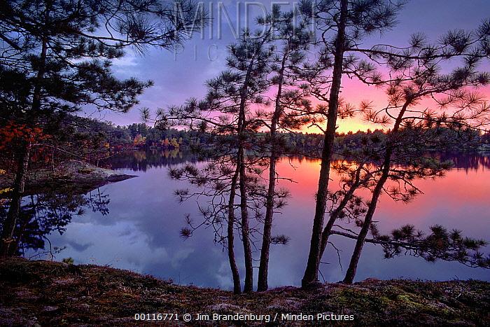 Sunset through Pine (Pinus sp) trees, Burntside Lake, Superior National Forest, Minnesota  -  Jim Brandenburg