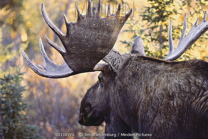 Moose (Alces alces andersoni) bull, Northwoods, Minnesota  -  Jim Brandenburg