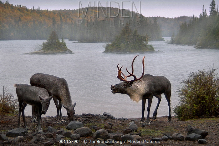 Woodland Caribou (Rangifer tarandus caribou) bull bellowing at two females on lakeshore, Northwoods, Minnesota  -  Jim Brandenburg