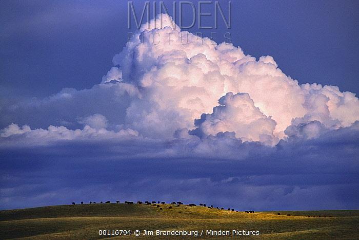 American Bison (Bison bison) herd on prairie with large cumulus clouds gathering in the sky above, North America  -  Jim Brandenburg
