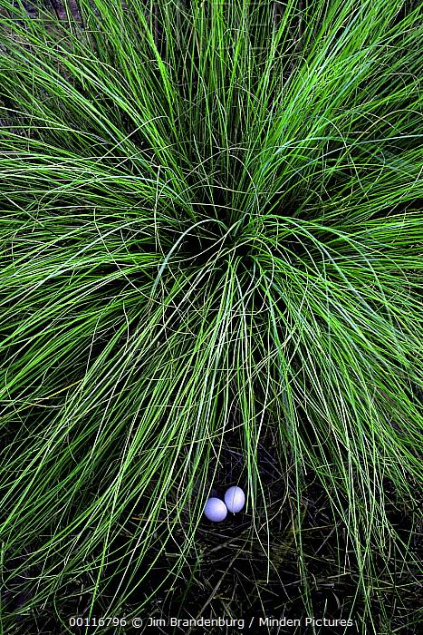 Dove (Columbidae) eggs hidden under tussock grass, North America  -  Jim Brandenburg