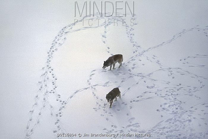 Timber Wolf (Canis lupus) pair in snow, Minnesota  -  Jim Brandenburg