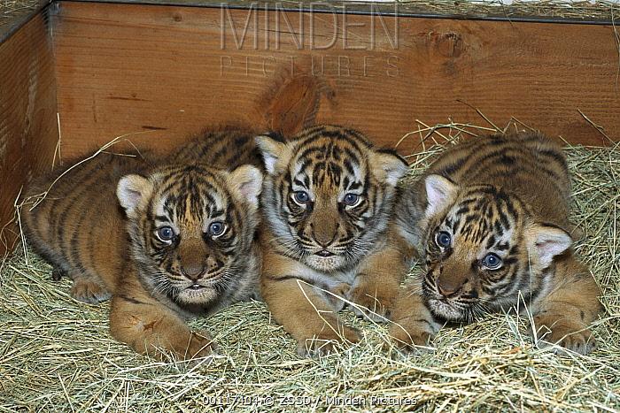 Malayan Tiger (Panthera tigris jacksoni) cubs in sleeping box, native to Malaysia  -  ZSSD