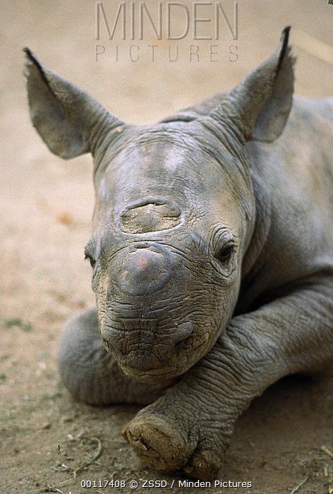 Black Rhinoceros (Diceros bicornis) portrait of calf, native to Africa  -  ZSSD