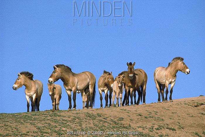 Przewalski's Horse (Equus ferus przewalskii) herd, native to Mongolia and China  -  ZSSD