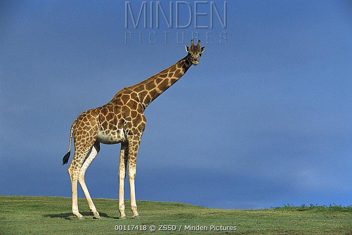 Rothschild Giraffe (Giraffa camelopardalis rothschildi) portrait, native to Uganda and Kenya  -  ZSSD