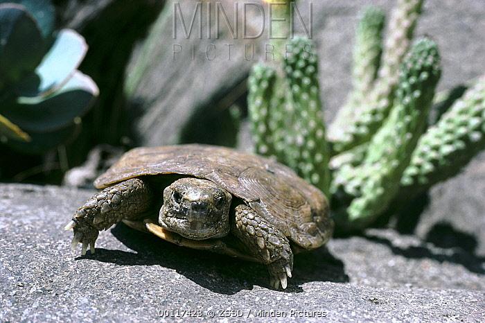 African Pancake Tortoise (Malacochersus tornieri), San Diego Zoo, California  -  ZSSD