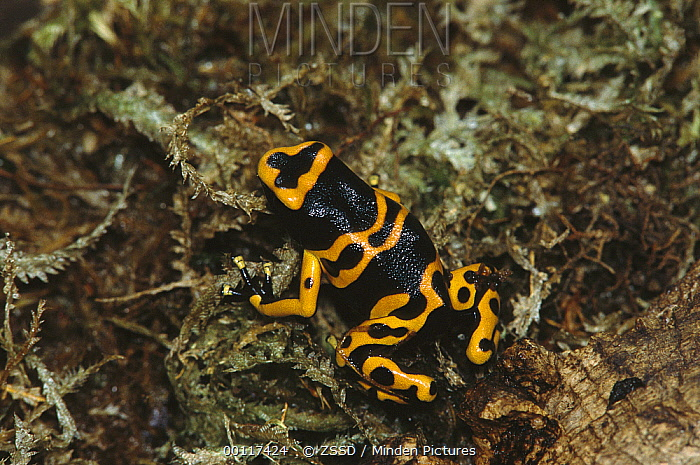 Yellow-banded Poison Dart Frog (Dendrobates leucomelas) portrait, native to Venezuela and Colombia  -  ZSSD