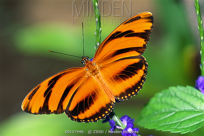 Banded Orange Heliconian (Dryadula phaetusa) butterfly on leaf, native to Costa Rica  -  ZSSD