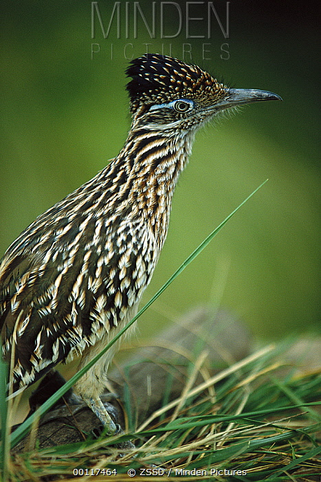 Greater Roadrunner (Geococcyx californianus) portrait, native to arid southern United States to southern Mexico  -  ZSSD
