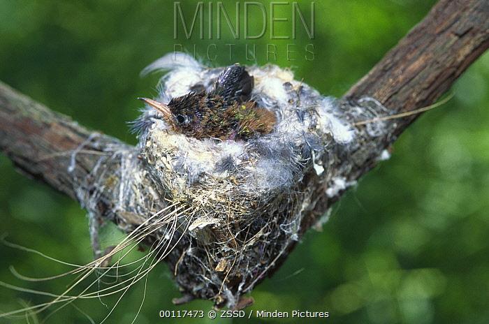 Amazilia Hummingbird (Amazilia amazilia) chick in nest, native to South America  -  ZSSD