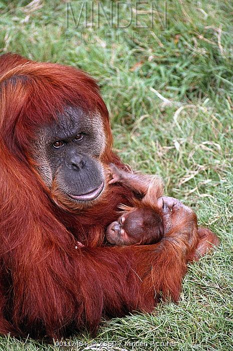Sumatran Orangutan (Pongo abelii) mother holding baby, native to Sumatra  -  ZSSD