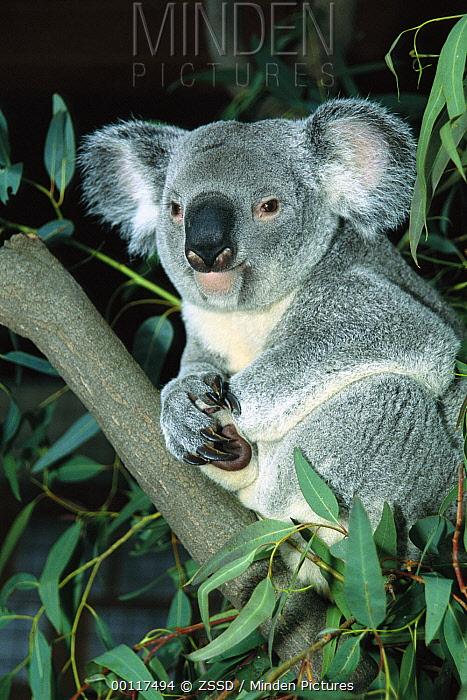 Queensland Koala (Phascolarctos cinereus adustus) portrait, native to Australia  -  ZSSD