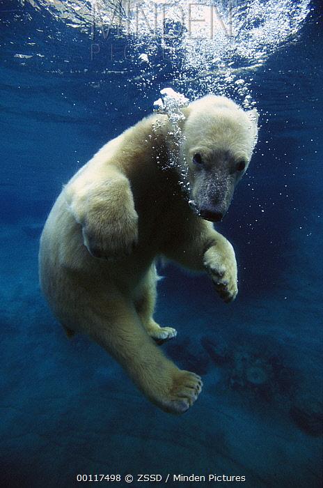 Polar Bear (Ursus maritimus) cub underwater, native to arctic regions  -  ZSSD