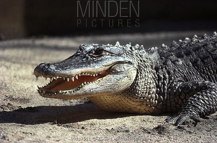 American Alligator (Alligator mississippiensis) portrait, native to North America  -  ZSSD