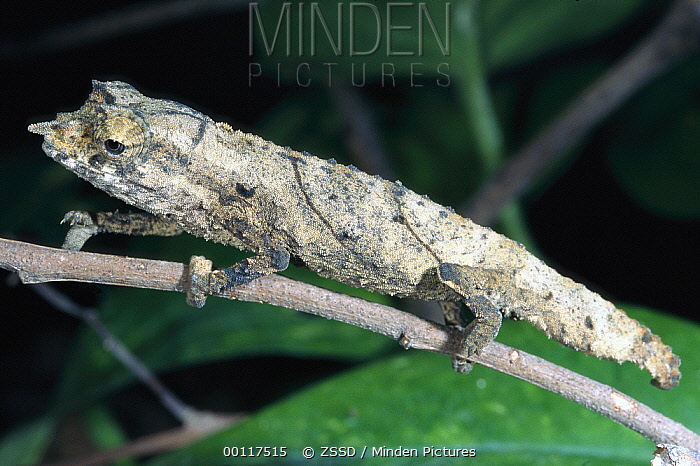 Cameroon Stumptail Chameleon (Rhampholeon spectrum) climbing branch, native to equatorial Africa  -  ZSSD