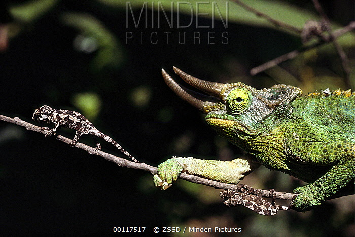 Jackson's Chameleon (Chamaeleo jacksonii) adult with two babies on branch, native to east Africa  -  ZSSD