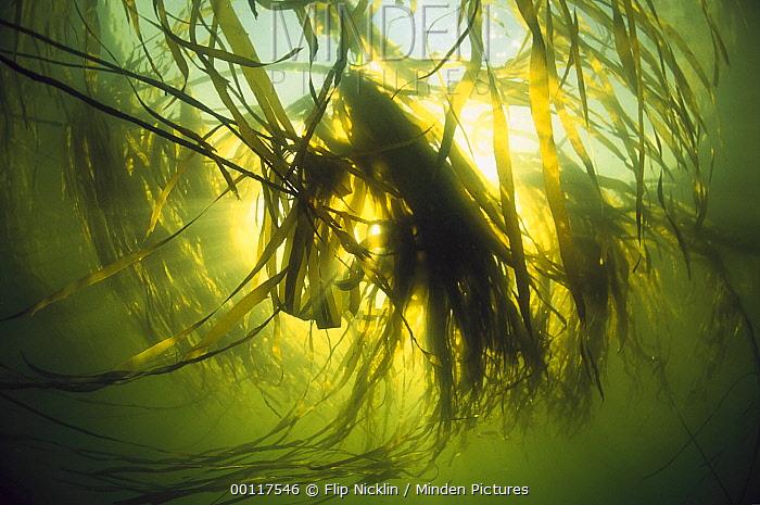 Bull Kelp (Nereocystis luetkeana) underwater, Clayoquot Sound, Vancouver Island, British Columbia, Canada  -  Flip  Nicklin
