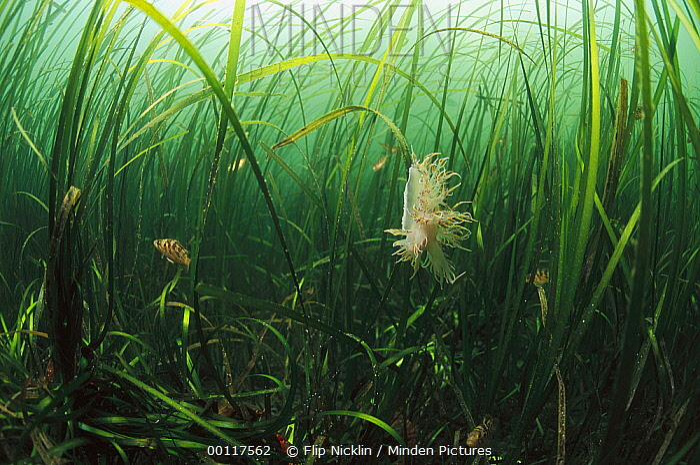 Nudibranch on Seagrass, underwater, Clayoquot Sound, Vancouver Island, British Columbia, Canada  -  Flip  Nicklin