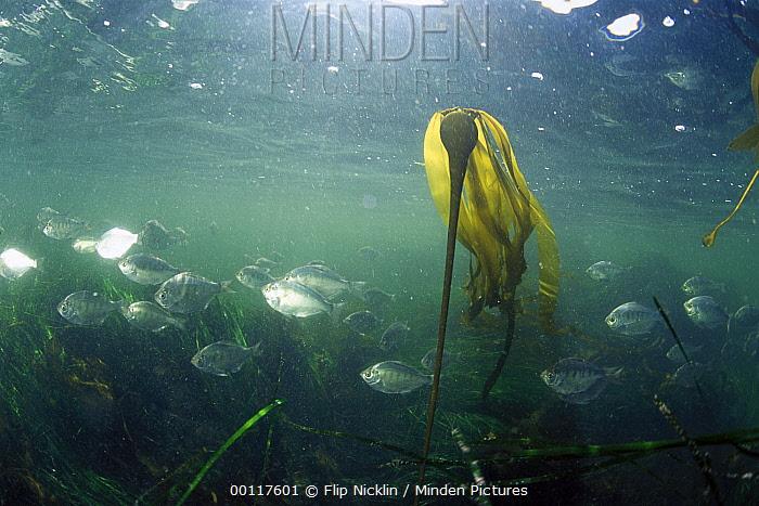 Bull Kelp (Nereocystis luetkeana) and schooling fish, Clayoquot Sound, Vancouver Island, British Columbia, Canada  -  Flip  Nicklin