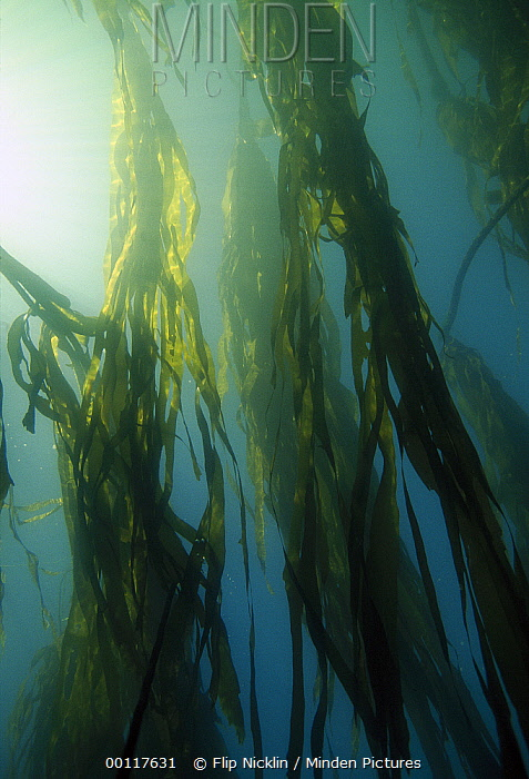 Sunlight streaming through Kelp, Clayoquot Sound, Vancouver Island, British Columbia, Canada  -  Flip  Nicklin