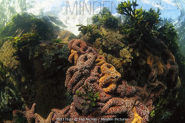 Ochre Sea Star (Pisaster ochraceus) cluster, Clayoquot Sound, Vancouver Island, British Columbia, Canada  -  Flip  Nicklin