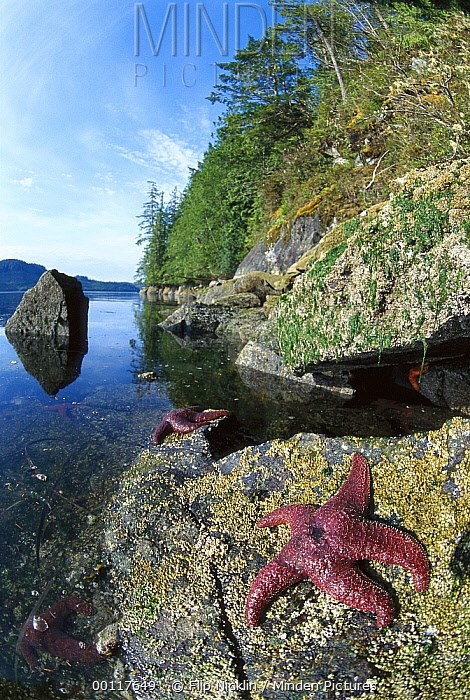 Ochre Sea Star (Pisaster ochraceus) pair clinging to rocky shore at low tide, Clayoquot Sound, Vancouver Island, British Columbia, Canada  -  Flip  Nicklin