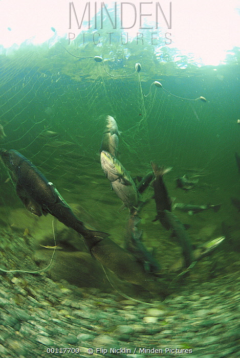Salmon (Oncorhynchus sp) netted to collect eggs and sperm for Tofino hatchery which raises and releases farmed fry to enhance wild populations, Vancouver Island, British Columbia, Canada  -  Flip  Nicklin
