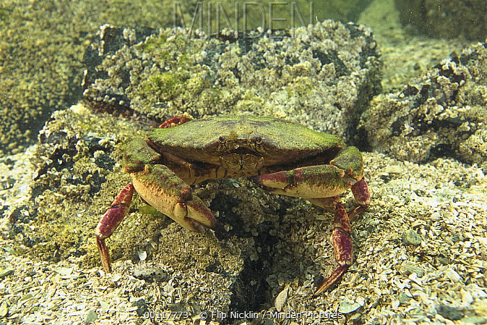 Crab, Clayoquot Sound, Vancouver Island, British Columbia, Canada  -  Flip  Nicklin