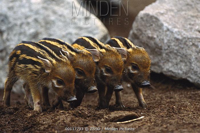 Red River Hog (Potamochoerus porcus) four babies, a highly social bush pig, native to Africa  -  ZSSD