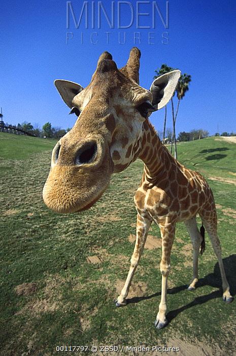 Rothschild Giraffe (Giraffa camelopardalis rothschildi) portrait, native to Africa south of the Sahara  -  ZSSD