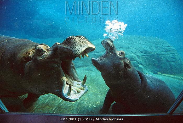 Hippopotamus (Hippopotamus amphibius) mother and baby interacting underwater in tank, native to Africa  -  ZSSD