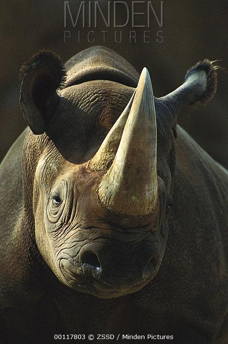Black Rhinoceros (Diceros bicornis) portrait, native to Africa  -  ZSSD