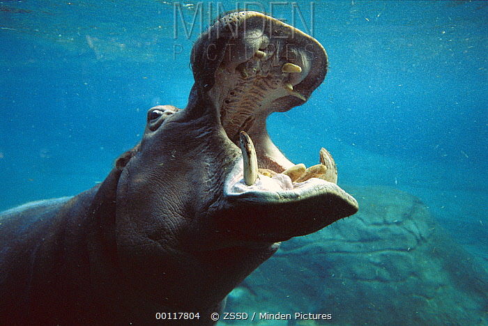 Hippopotamus (Hippopotamus amphibius) swimming submerged in tank, native to Africa  -  ZSSD