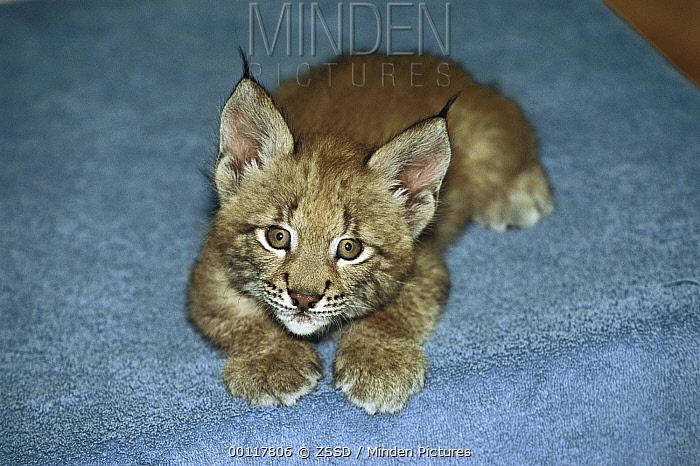 Eurasian Lynx (Lynx lynx) kitten, native to Europe and Asia  -  ZSSD
