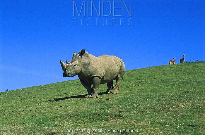 White Rhinoceros (Ceratotherium simum) adult portrait, native to Africa  -  ZSSD