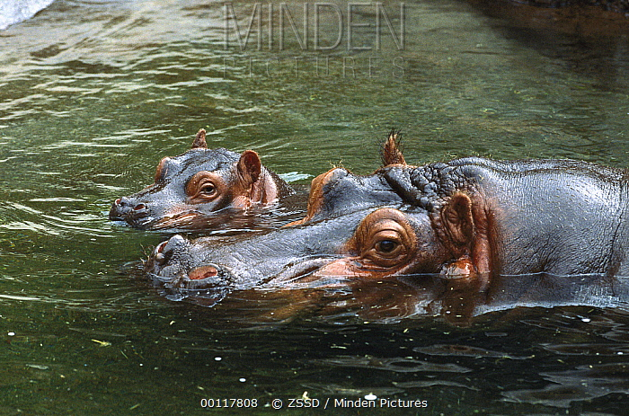 Hippopotamus (Hippopotamus amphibius) mother and baby swimming in water, native to Africa  -  ZSSD