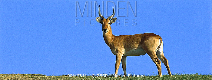 Impala (Aepyceros melampus) male standing alert, native to Africa  -  ZSSD