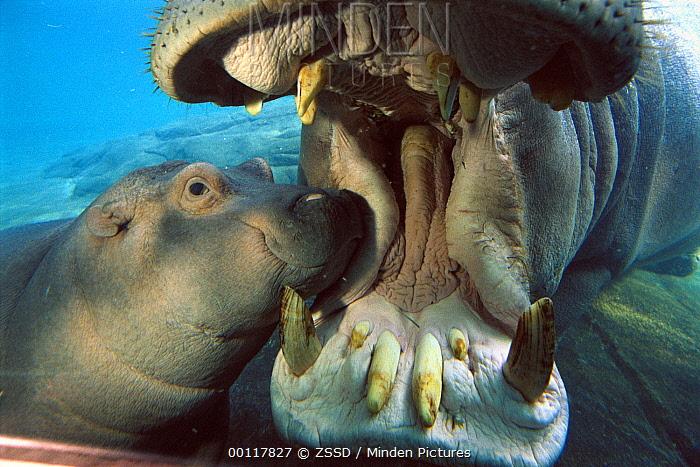 East African River Hippopotamus (Hippopotamus amphibius kiboko) mother and baby underwater, native to Africa  -  ZSSD
