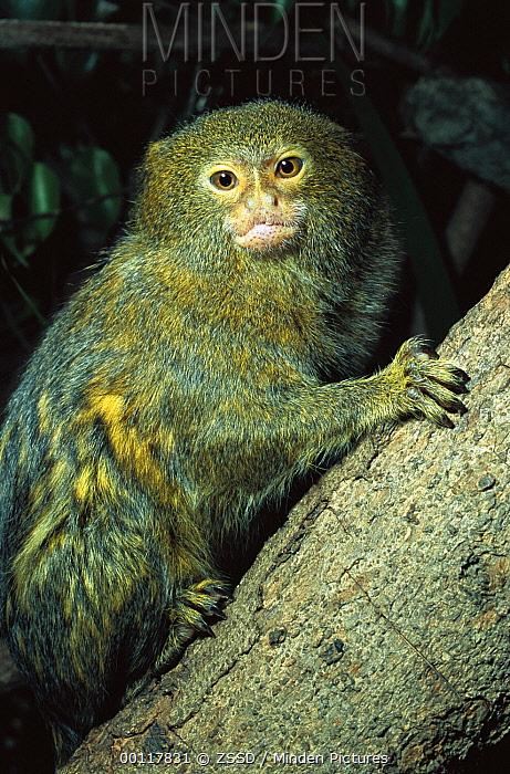 Pygmy Marmoset (Cebuella pygmaea) portrait, native to South America  -  ZSSD