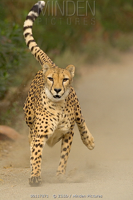 Cheetah (Acinonyx jubatus) in mid-stride, sequence 1 of 3  -  ZSSD