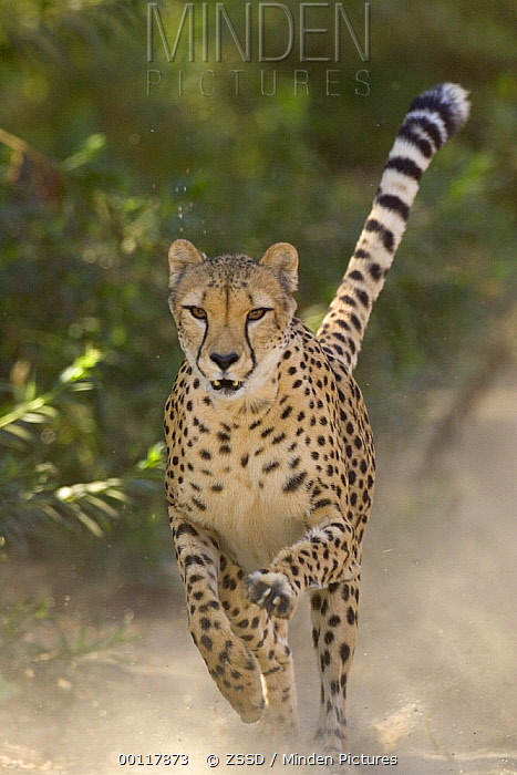 Cheetah (Acinonyx jubatus) in mid-stride, sequence 3 of 3  -  ZSSD