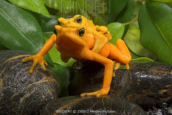 Panamanian Golden Frog (Atelopus zeteki) pair in amplexus, native to Panama  -  ZSSD