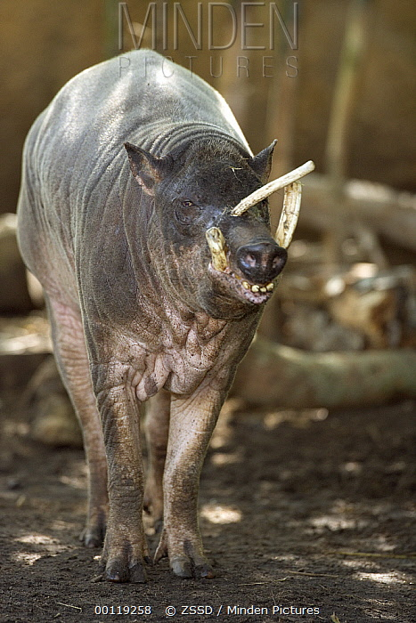 Babirusa (Babyrousa babyrussa) showing typical curved tusks, native to Indonesia  -  ZSSD