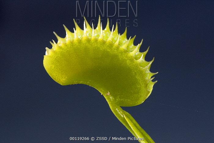 Venus Fly Trap (Dionaea muscipula) carnivorous plant, native to South America  -  ZSSD