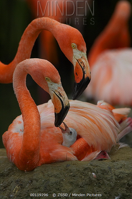 Greater Flamingo (Phoenicopterus ruber) parent interacting with chick, native to the Caribbean  -  ZSSD