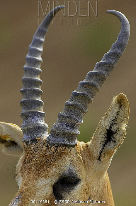 Horn Minden minden pictures stock photos goitered gazelle gazella
